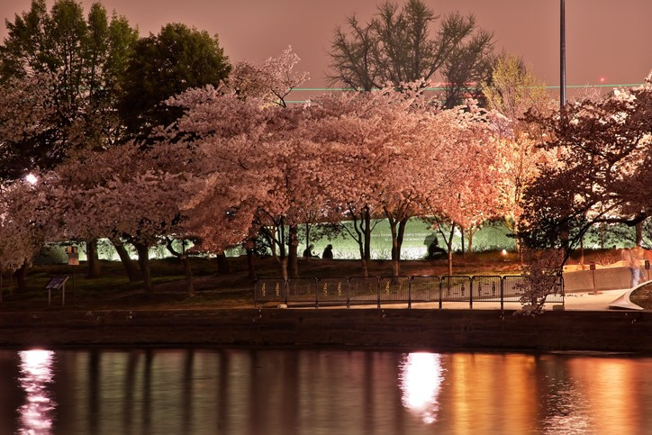 Tidal Basin Cherry Blossoms Martin Luther King Memorial Evening